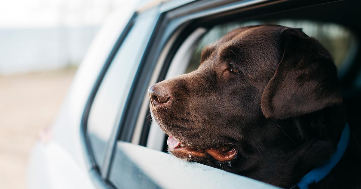cierny pes vykukajuci z okna auta