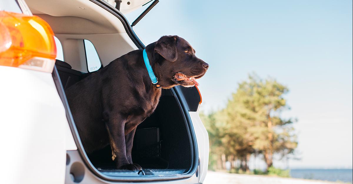 cierny pes vychadzajuci z kufra auta